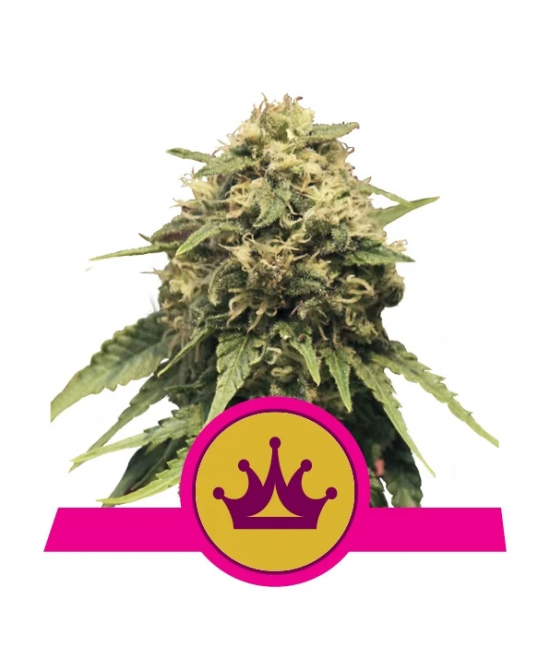 The best seeds for cannabis lovers are from Royal queen seed